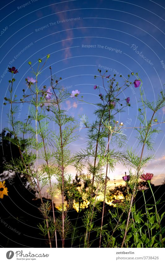 Angeblitzte Cosmea ast baum blume blühen blüte erholung ferien garten gras himmel kleingarten kleingartenkolonie menschenleer natur pflanze rasen ruhe