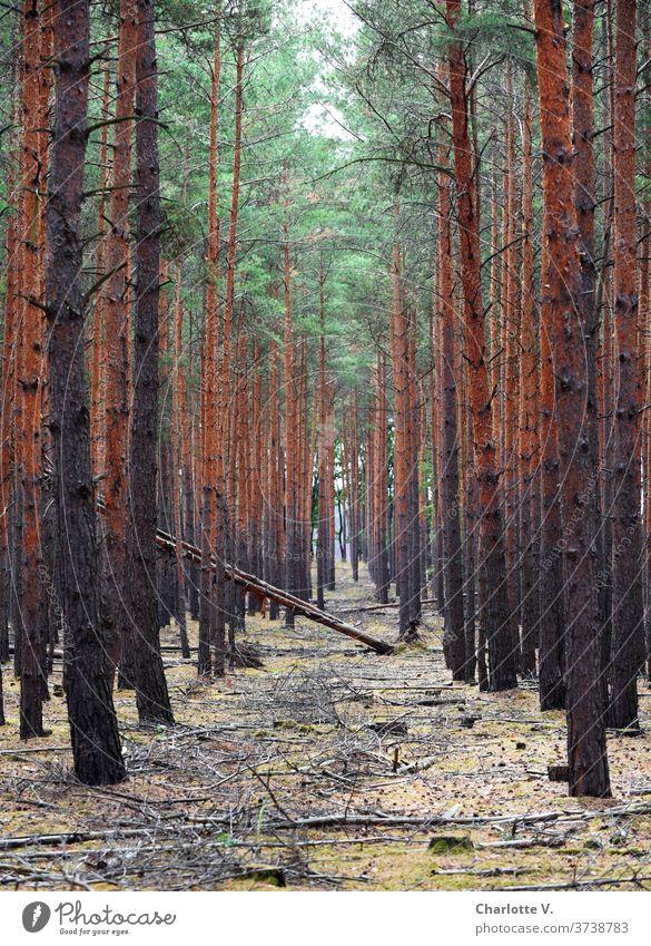 Bäume in den Weg legen Wald Natur Außenaufnahme Umwelt Baum Baumstamm Holz Tag Landschaft Menschenleer Nadelbäume Fichtenwald Nadelwald Forstwirtschaft Pflanze