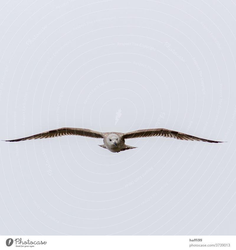 Möwe im Anflug Vogel Flügel Blick Mantelmöwe Dominikanermöwe Ostsee Möwenfliegen Augenkontakt Feder Leichtigkeit Jagd elegant Larus dominikanus Air ästhetisch
