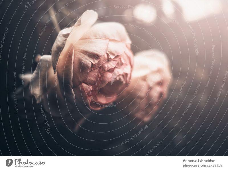 Rose Vintage Blume Pflanze Farbfoto rosa Nahaufnahme Blühend Blüte Duft Schwache Tiefenschärfe Sommer Garten Rosenblüte Blütenblatt Romantik Tag natürlich