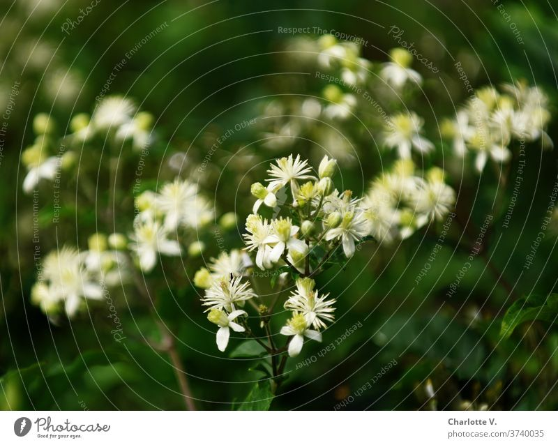Weiße Blüten Pflanze Natur Außenaufnahme Blühend Farbfoto Spätsommer Sommer Schwache Tiefenschärfe Nahaufnahme Detailaufnahme schön strauch blühender Strauch