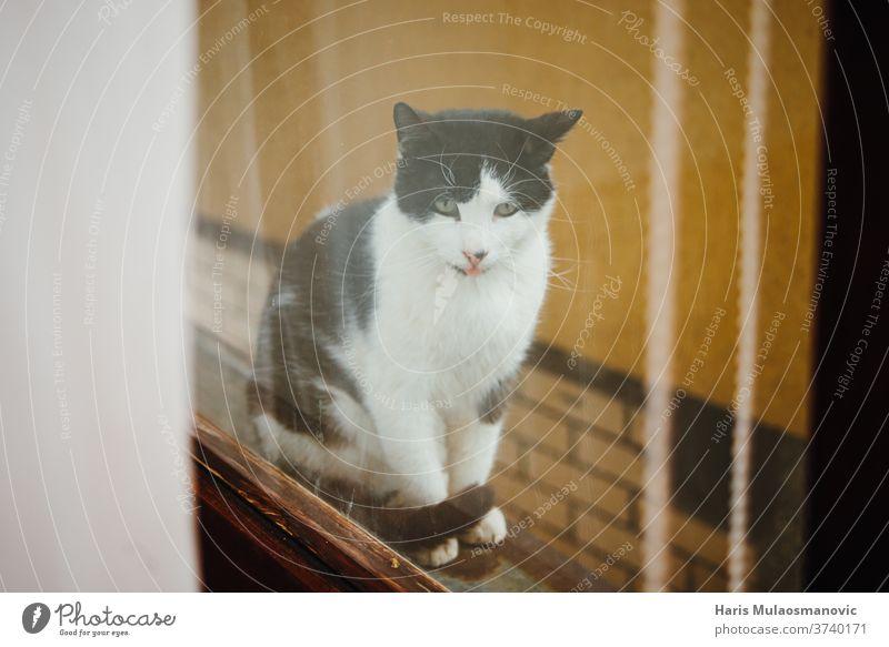 Katze, die durch das Fenster schaut, Katze mit Zunge schwarz spielerisch altehrwürdig Tier niedlich verspottend Attrappe Quarantäne bezaubernd Hintergrund schön