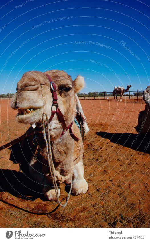 Camel Kamel Australien Wüste