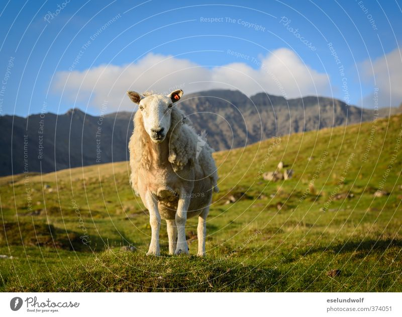 Määäh - das ist meine Wiese blau grün Landschaft Tier Berge u. Gebirge Gras Frühling Felsen gold Wildtier frei Schönes Wetter Fröhlichkeit niedlich Lebensfreude
