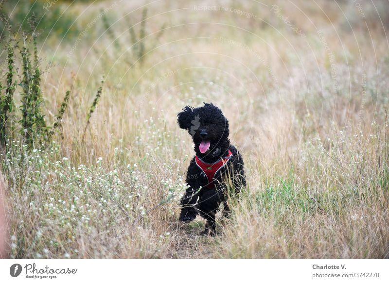 Die wilde Hilde Hund laufen Tier Haustier Säugetier Außenaufnahme Farbfoto Spaziergang Natur Tierporträt Wiese Gras Tag Sommer niedlich Zunge zunge zeigen