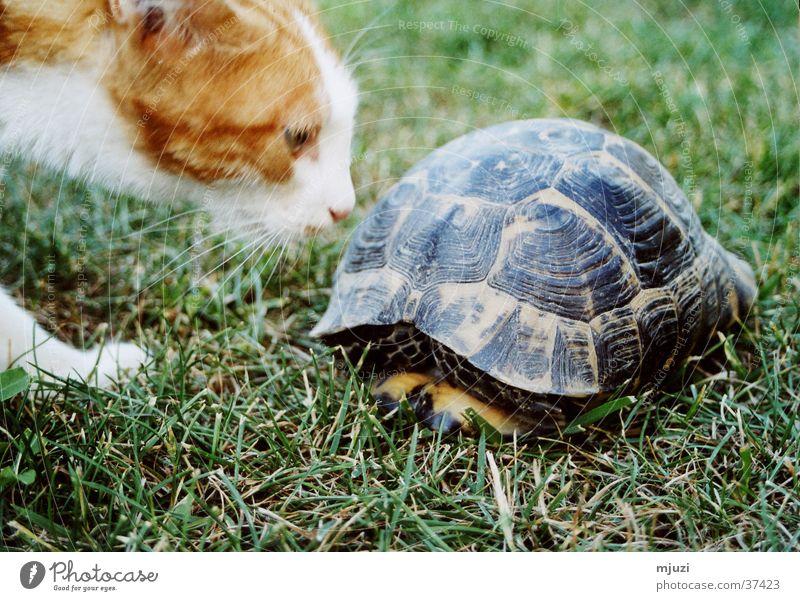 Kaplumpaha Neugier Katze Schildkröte Geruch Rühr-mich-nicht-an Vorsicht Freundschaft? dicker Panzer Schutzscild Gefahr lauern