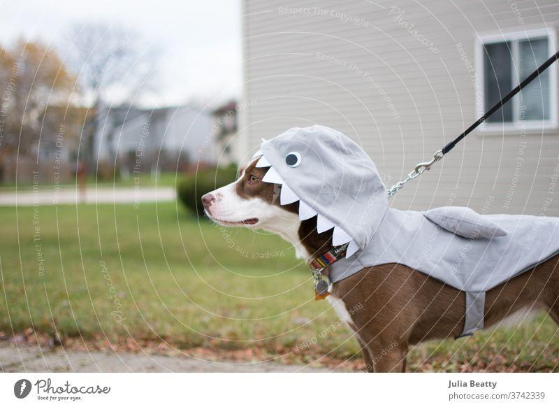 Border Collie-Hund in einem Hai-Kostüm zu Halloween Rettungshund anleinen Haifisch Welpe Spaziergang Viertel Zähne Kragen fallen Herbst Tracht redaktionell