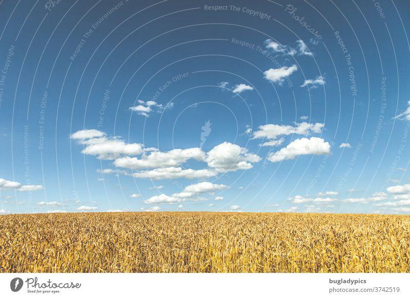 Kornfeld vor blauem Himmel mit einigen Wolken Getreidefeld Weizen Weizenfeld Roggen Roggenfeld Gerste Gerstenfeld Feld Ähren Landwirtschaft Nutzpflanze Ackerbau