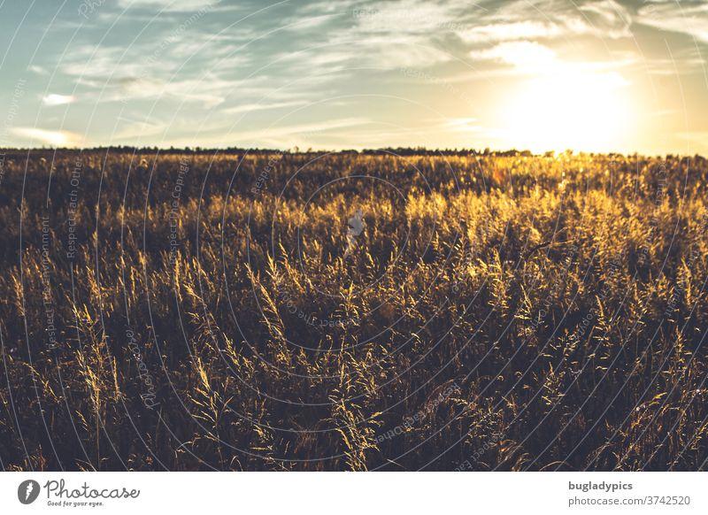 Feld in der Abendsonne. Wiese im Sonnenuntergang. Gräser Getreide Getreidefeld Abendsonnenlicht Sonnenstrahlen Sonnenlicht Sonnenlichtstrahlen Abendstimmung