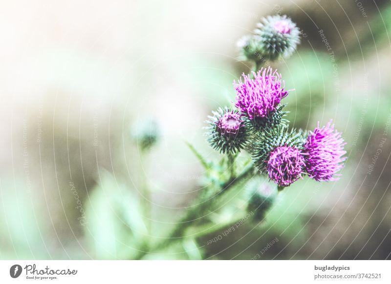 Lila Distel vor grünem unscharfen Hintergrund. Distelblüte lila Lila Blume lila Blüte Stacheln stachelig Dornen Pflanze Natur violett Blühend
