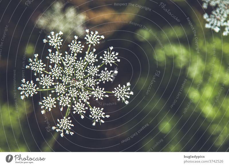 Wilde Möhre Daucus carota vor unscharfem grünen Hintergrund. Wenig Tiefenschärfe. weisse blume Weiße Blume weiße blüten Blüte Wildpflanze Wildpflanzen Pflanze