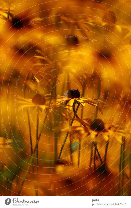 Sommerhuth Blume gelb orange Pflanze Garten Nahaufnahme Blühend Menschenleer Außenaufnahme Blüte Farbfoto Natur Starke Tiefenschärfe Stauden