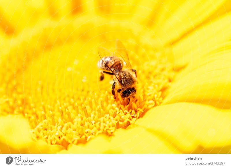 sonn(en)tagsfarben Blühend fleißig gelb Kontrast Tierporträt Wildtier Farbfoto Frühling duftend Duft Sommer Außenaufnahme Pflanze Natur wunderschön blühen Blüte