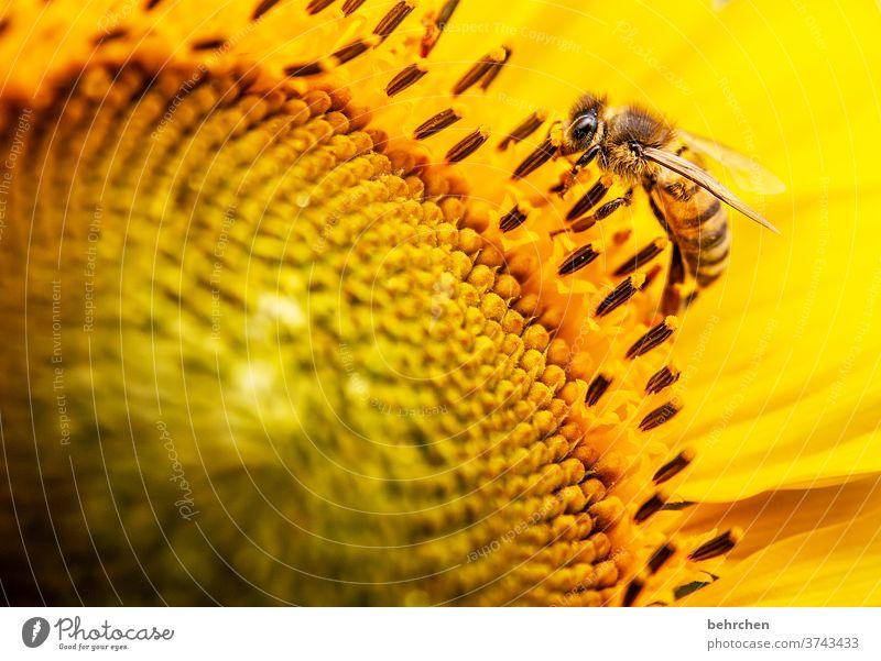 bienchen Nektar Honig Pollen Tier Sonnenblume Nahaufnahme Wiese schön Landschaft Garten Hummel Biene fliegen Flügel Blütenblatt Umwelt Wärme Blütenstaub