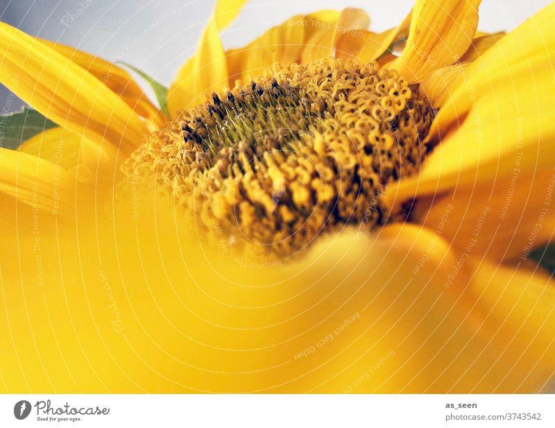 Sunflower Sonnenblume gelb Sommer leuchtend Blume Pflanze Blüte Natur Nahaufnahme Farbfoto Außenaufnahme Makroaufnahme Garten Tag Menschenleer Blatt