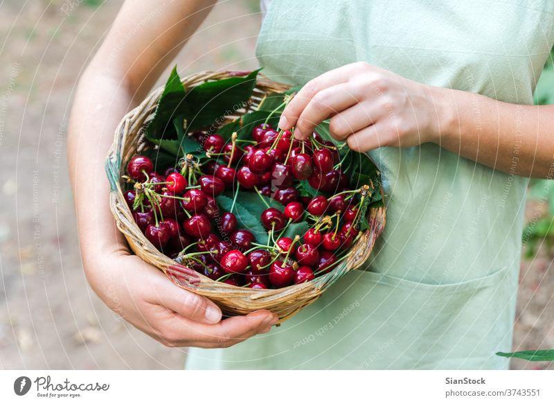 Eine junge Frau auf der Wiese hält einen Korb mit Kirschen. saftig Gesundheit Lebensmittel Hand Schürze organisch reif Vegetarier Ackerbau Frucht frisch Mädchen