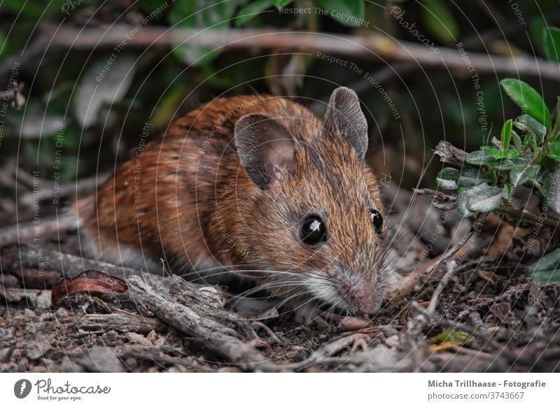 Maus im Wald Myodes glareolus Rötelmaus Tiergesicht Auge Nase Maul Ohr Fell beobachten Blick Wildtier Zweige u. Äste Blatt Sonnenlicht Schönes Wetter Neugier