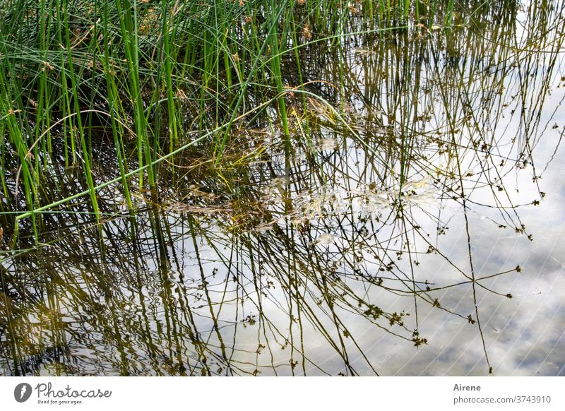 zu Land und zu Wasser Gras Seeufer Flussufer Teich Natur natürlich hell-blau weiß grün braun üppig (Wuchs) Reflexion & Spiegelung Wasserspiegelung Zweig