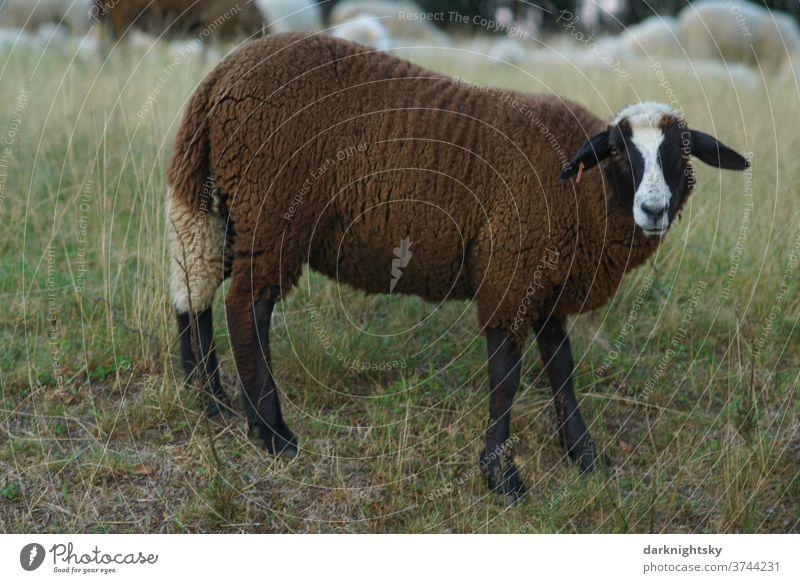 Braunes Schaf auf einer Weide Wiese Außenaufnahme Natur Tier weide maul land ohren bauernhof Hörner wild portrait stur souverän fell kopf gehörnt bock goat