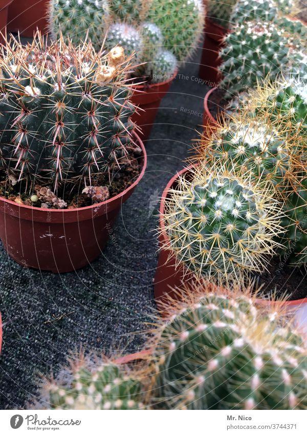 Mini Kakteen Sammlung Kaktus Pflanze grün Stachel botanisch Dekoration & Verzierung Gärtnerei Zimmerpflanze kaktuspflanze Topfpflanze exotisch Kakteenstacheln
