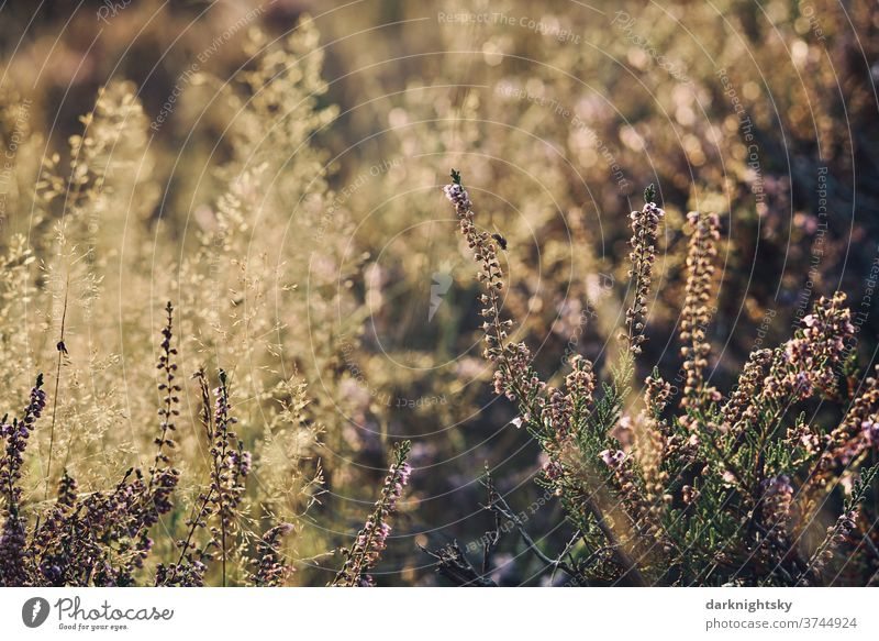 Ericaceae Heide Kraut mit Gräsern und einer Fliege Schwache Tiefenschärfe Abend Tag Textfreiraum Mitte Textfreiraum rechts Menschenleer Makroaufnahme Farbfoto