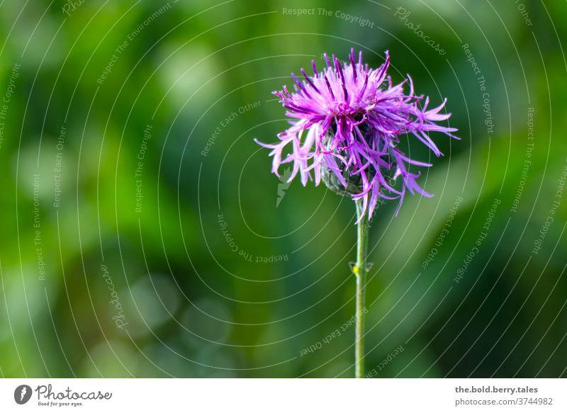 Wiesen-Flockenblume, Blume in lila pink grün Pflanze Blüte Blühend Nahaufnahme Natur Farbfoto Sommer schön Garten Menschenleer Schwache Tiefenschärfe natürlich