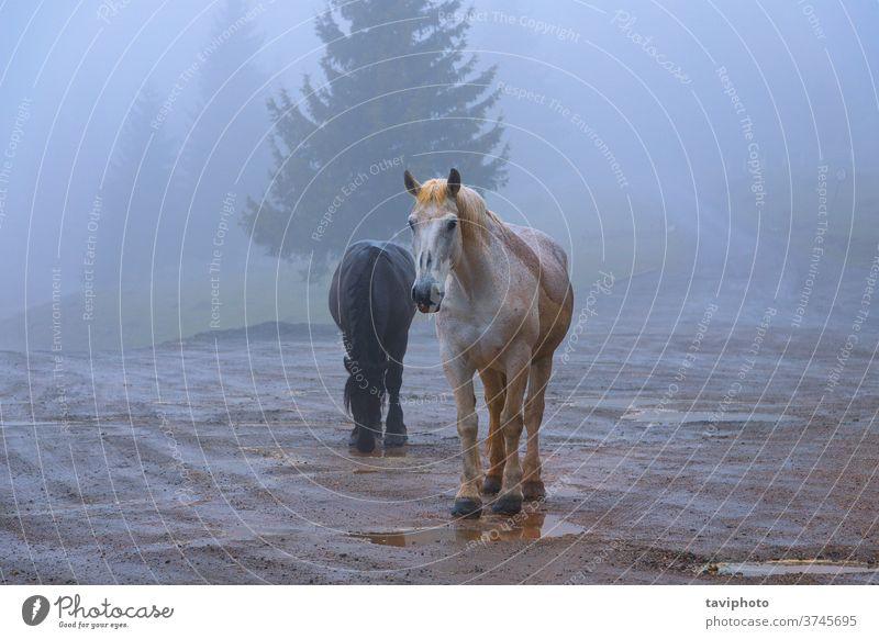 Verwilderte Pferde im Apuseni-Gebirge Mähne Paar Tier Natur braun Säugetier frei schlechtes Wetter Herbst Nebel schön Transsilvanien im Freien Verhalten