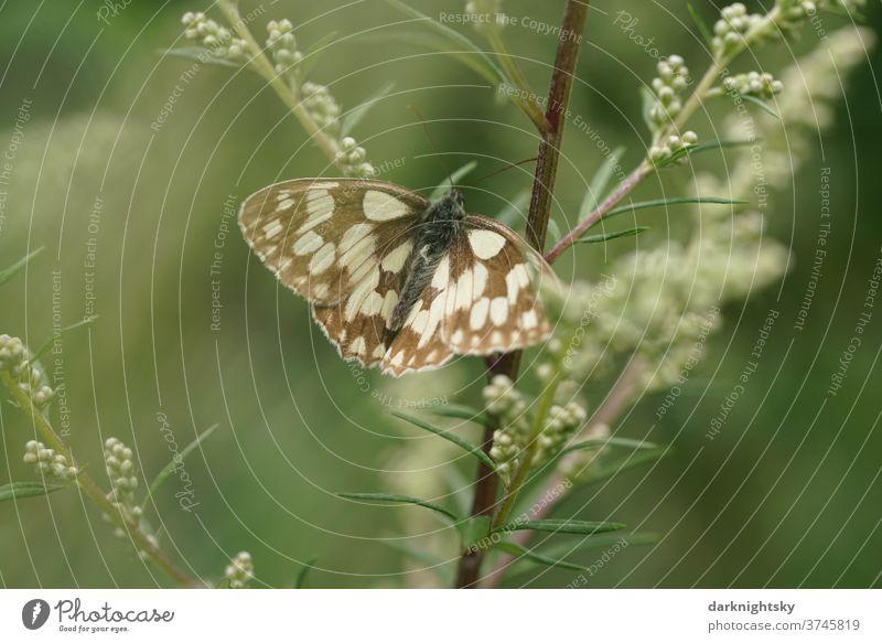 Melanargia galathea Schachbrett Tagfalter auf einer Pflanze Farbfoto Kontrastreich Außenaufnahme Falter Blüte Schmetterling Natur Menschenleer Flügel Insekt