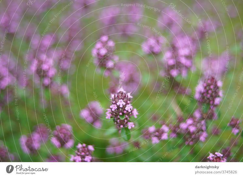 Wilder Thymian in voller Blüte zur Sommerzeit Thymus alpestris Garten wilder Feld Wiese Kräuter Küchen Nahaufnahme Farbfoto Pflanze Außenaufnahme Menschenleer
