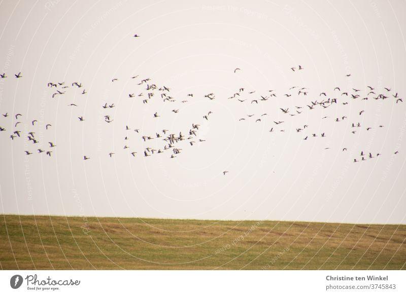 dynamisch | Wildgänse beim Flug über den Deich Vögel Vogelzug Vogelflug Wildtier Wildvogel Natur laut schnattern rufen Tier viele Außenaufnahme Nordsee
