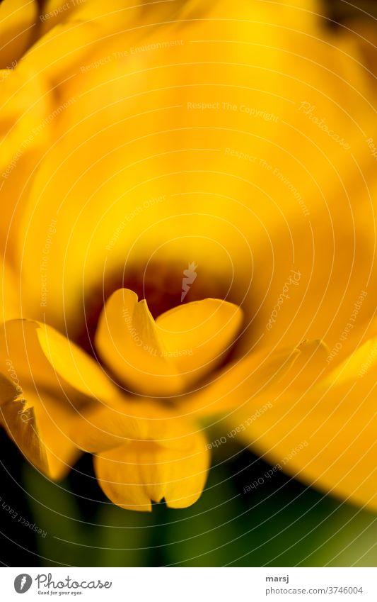 Herzförmige Blütenblätter Ringelblume Blume orange Heilpflanzen Farbfoto Garten Natur Blühend Schwache Tiefenschärfe Pflanze Sommer Duft Blütenblatt Spitze