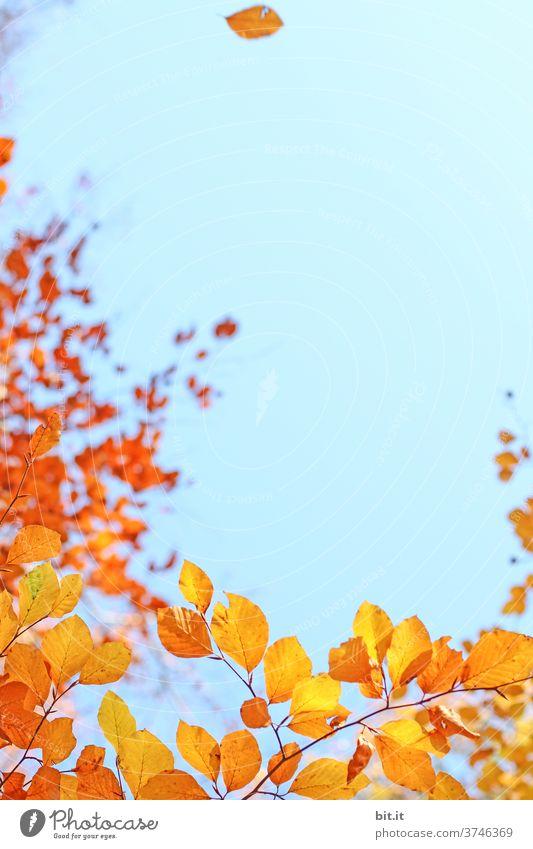Bunte Herbstblätter, vor blauem Himmel. herbstlich Herbstlaub Herbstfärbung Horizont gelb orange Indian Summer Altweibersommer Blatt Pflanze Menschenleer Baum