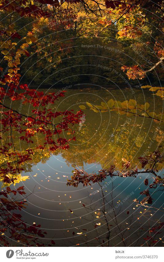 Goldener Herbst herbstlich Herbstlaub Herbstfärbung Herbstwald Spiegelung Spiegelbild Wasser Wasseroberfläche Wasserspiegelung See Gewässer
