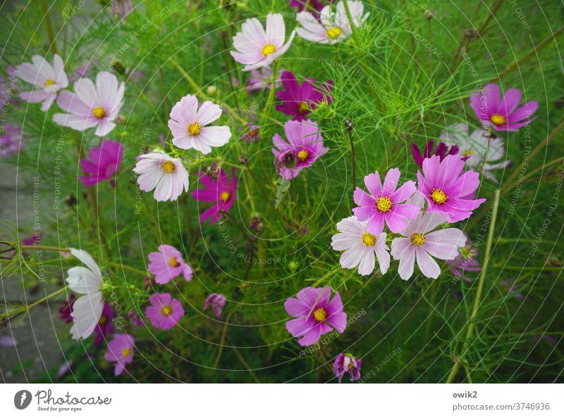 Landschaft in drei Farben Sommer Blütenblatt Sträucher Blume Wiese hell Schmuckkörbchen Himmel Blumenwiese natürlich Zusammensein grün Idylle Hoffnung frisch