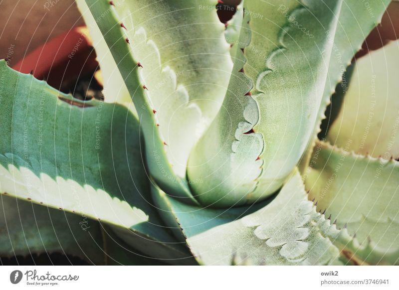 Dickhäuter Agave Blatt Pflanze Topfpflanze natürlich Stachel stachelig bizarr Dorn Sukkulenten abwehrend Farbfoto Außenaufnahme Nahaufnahme Detailaufnahme