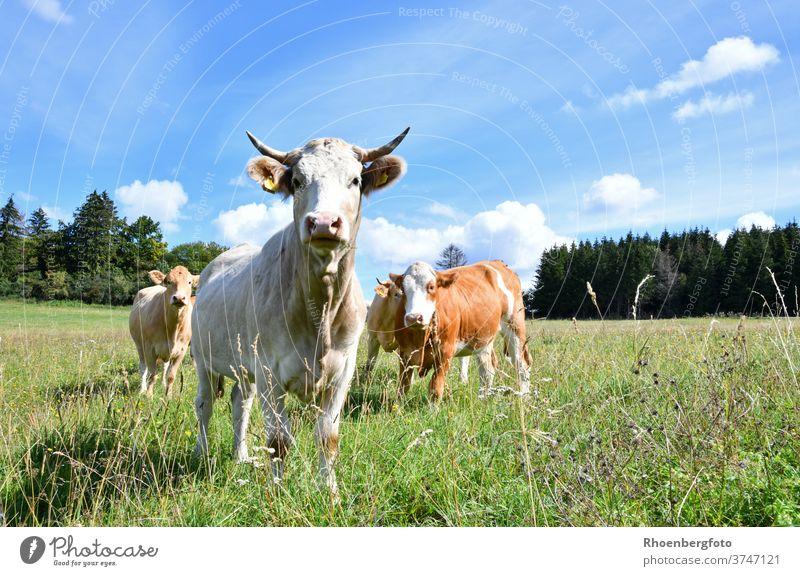 glückliche Kühe auf einer saftigen Weide in der Rhön kuh kühe milch käse weide sommer gras gräser rhön thüringen kaltennordheim klings rind hausrind bos taurus