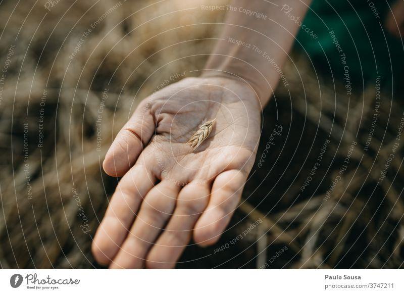 Nahaufnahme einer Hand, die Weizenähren hält Müsli Feld Weizenfeld Ackerbau Außenaufnahme Pflanze Natur Sommer Korn Lebensmittel Tag Ernte Menschenleer Kornfeld
