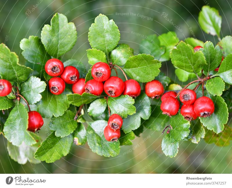 rote Früchte des Weißdorns weißdorn früchte beeren obst crategus strauch baum september sommer herbst ast zweig pflanze natur textfreiraum tiefenschärfe