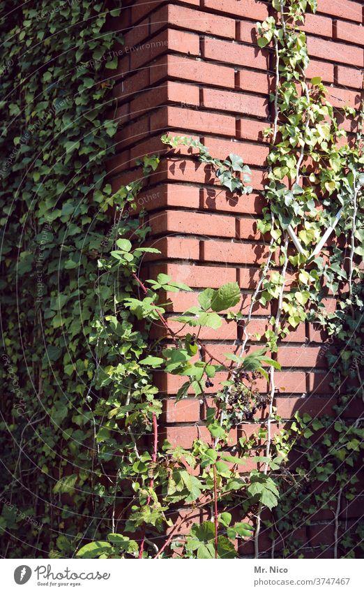 Efeu wächst an einem Gebäude in die Höhe Pflanze grün Blatt Natur Ranke bewachsen Kletterpflanzen Wachstum Fassade Mauer Wand Haus Backsteinfassade