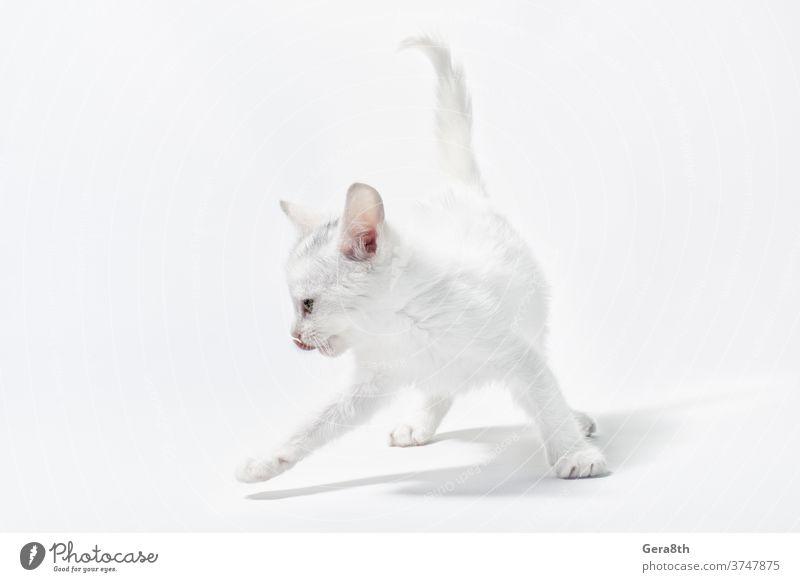 weißes kleines verspieltes Kätzchen auf hellem Hintergrund bezaubernd Tier Baby Katze heiter Sauberkeit Farbe neugierig niedlich heimisch Hauskatze leer