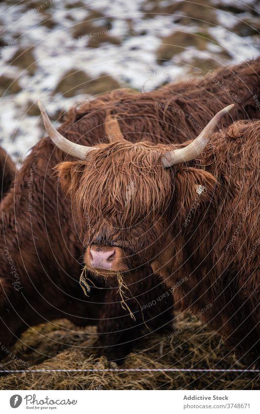 Hochlandrinder beim Grasen in den Bergen auf den Färöer Inseln Rind Kuh Fussel Weide Schnee Winter Hügel weiden Färöer-Inseln essen getrocknet nass Wiese