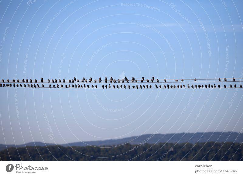In Reih und Glied – Vögel auf Stromleitung Staren Leitung Reihe Pause Blauer Himmel sitzen Pause machen