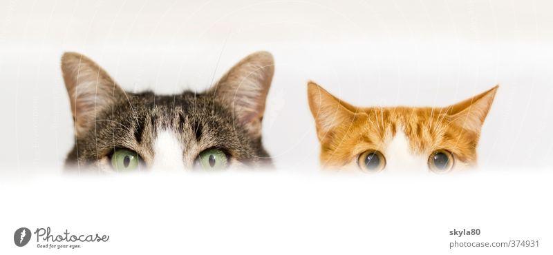 Doppelpack Hauskatze Katze Auge Blick Wachsamkeit Badewanne verstecken Spielen Freude lustig Tellerrand angriffslustig geschnitten Haustier Tiergesicht