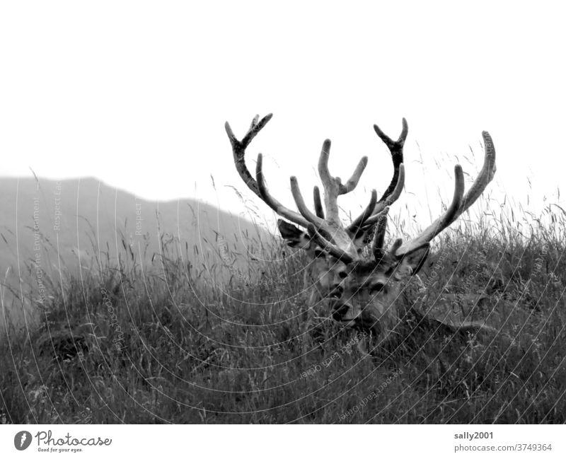 Zwei stolze Hirsche ruhen im Gras... Wild Tier Wildtier Geweih Wiese stark beeindruckend Stärke Natur einsam König des Waldes Kraft 2 Paar liegen beobachten