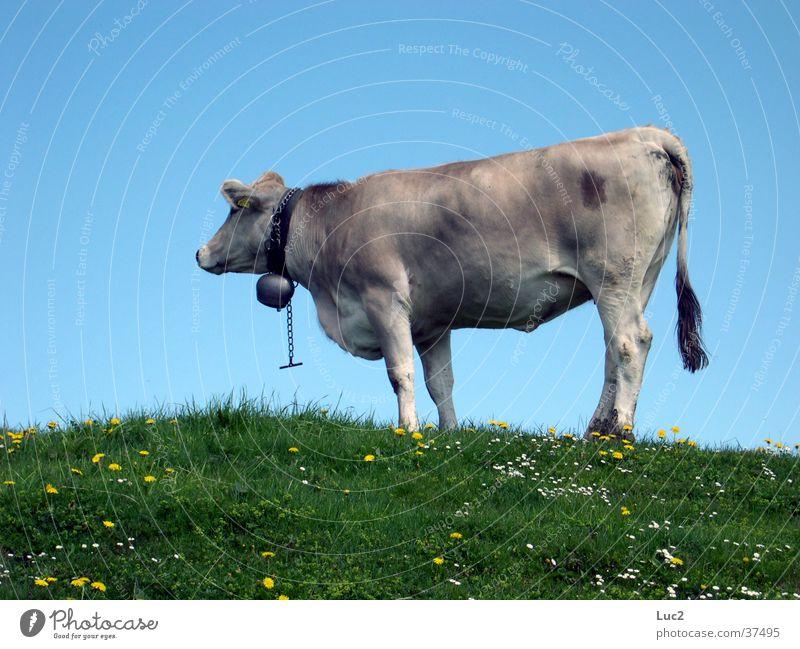 Kuh Wiese Berge u. Gebirge Verkehr Schweiz Alpen Kuh Alm Rind