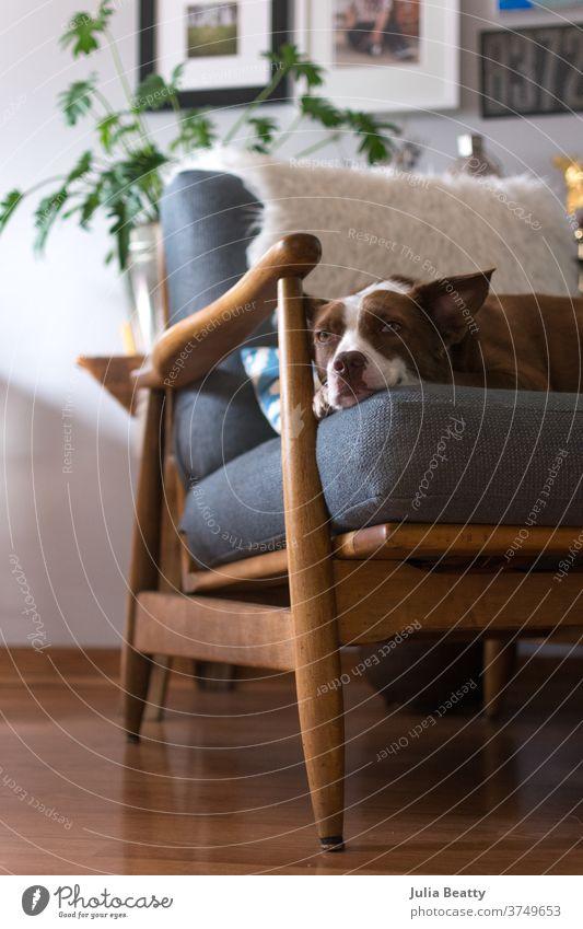 Border Collie-Hund sitzt auf einem Stuhl aus der Mitte des Jahrhunderts in einem einzigartigen Innenraum Mitte des Jahrhunderts modern MCM Haus Häusliches Leben