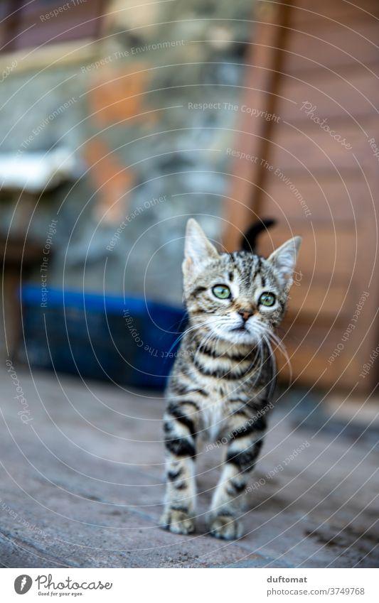 Neugieriges Katzenkind Katzenbaby Katzenauge katzenhaft Katzenkopf neugierig Neugierde grüne augen Stubentieger gestreift klein jung Kind Tier Tierkind Tierbaby