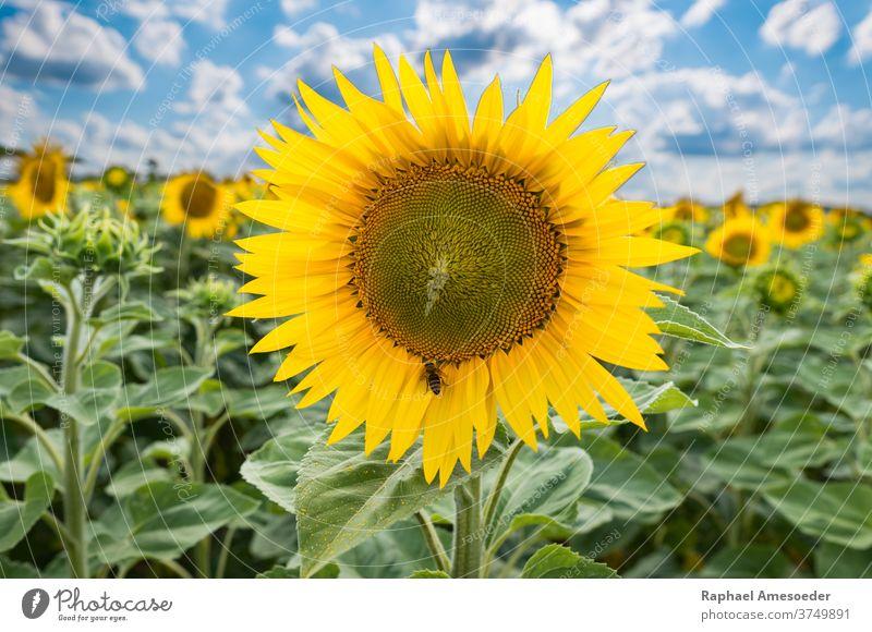 Sonnenblumenfeld unter bewölktem Himmel am Sommertag gelb Blume Feld blau Wolken Natur Biene Ackerbau Hintergrund schön Schönheit Blüte botanisch Botanik hell