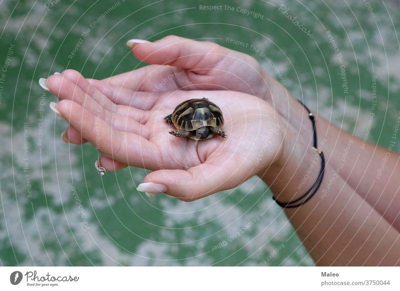 Die kleine Schildkröte wird in den Handflächen gehalten Tier Australien Baby bundaberg Pflege Caretta Nahaufnahme Erhaltung niedlich Osten Küste gefährdet Arten
