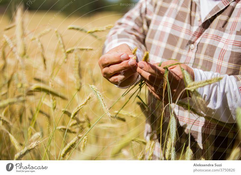Ein Agronom prüft die Qualität von Getreide, das in der Mitte eines Roggenfeldes steht Agribusiness landwirtschaftlich Ackerbau Agronomin Agronomie Business